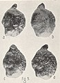 Potamogeton berchtoldii fruit (03).jpg