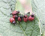 Potato beetle larvae.jpg