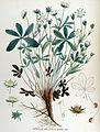 Potentilla albo-sterilis — Flora Batava — Volume v17.jpg
