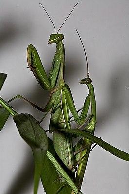 Pärchen der Europäische Gottesanbeterin (Mantis religiosa)
