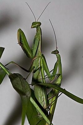 Pärchen der Europäischen Gottesanbeterin (Mantis religiosa)