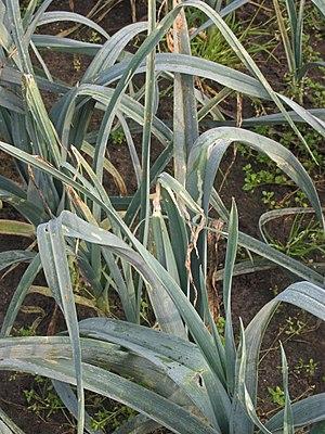 Leek moth - Leek moth damage to Allium porrum