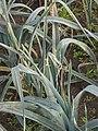 Prei winter preimot (Acrolepiopsis assectella on Allium porrum).jpg