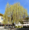 Primary School Vasil Levski in Botevgrad - old willow tree 01.jpg