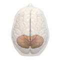 Primary fissure of cerebellum -- 05.png