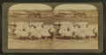 Prize winning sheep (thoroughbred Shropshires) in rich clover pasture, southern Michigan, from Robert N. Dennis collection of stereoscopic views.png
