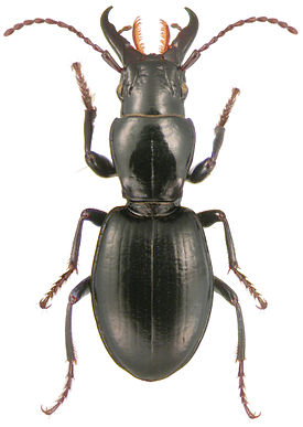 Promecognathinae