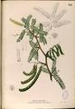 Prosopis juliflora Blanco2.392-original.png
