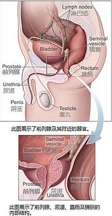 女性膀胱位置图片_前列腺 - 维基百科,自由的百科全书