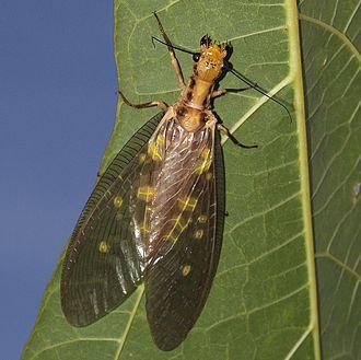 Dobsonfly - Protohermes grandis