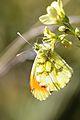 Provence Orange Tip - Punta-naranjada Meridional (8707704015).jpg