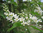 Prunus padus flowers.jpg