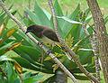 Psilorhinus morio, the Brown Jay (8987072817).jpg