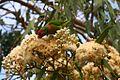 Psitteuteles versicolor -Queensland-8.jpg