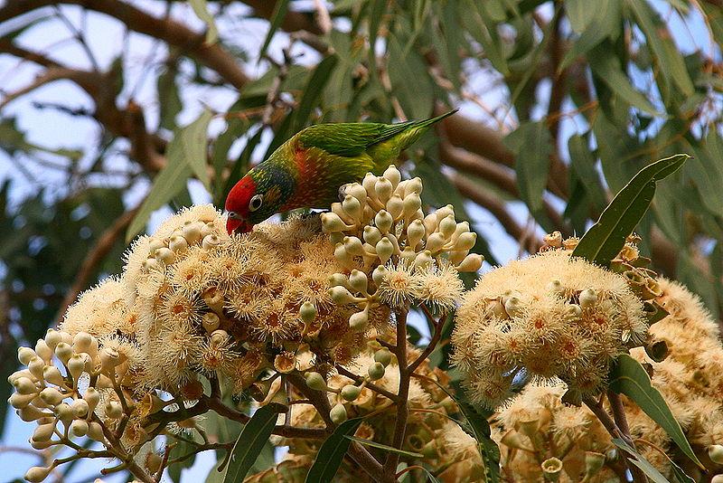 File:Psitteuteles versicolor -Queensland-8.jpg