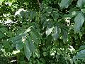 Pterocarya fraxinifolia Kiev1.JPG