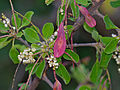 Purple-pod Cluster-leaf (Terminalia prunioides) (12026220083).jpg