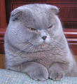 Purple-scottish-fold.png