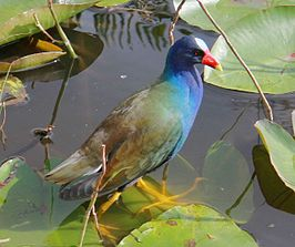 Purple Gallinule, (Porphyrio martinica) seen in the Florida Everglades.jpg