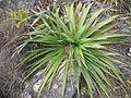 Puya nana (JP-NS) 5169.jpg