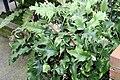 Pyrrosia Monstrifera 2zz.jpg