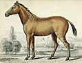 Quagga-horse hybrid (cropped).jpg