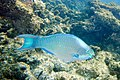 Queen parrotfish Scarus vetula (4658271432).jpg
