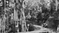 Queensland State Archives 1178 View of the road to Tamborine Mountain South Queensland January 1931.png