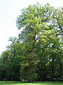 Quercus bicolor JPG1.jpg