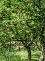 Quercus macrolepis-6.jpg