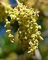 Quercus saltillensis 3.jpg