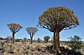 Quiver tree forest, Aloe rozsochatá - Namibie - panoramio (1).jpg