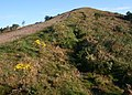 Ragwort on Black Hill - geograph.org.uk - 556494.jpg