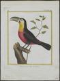 Ramphastos dicolorus - 1700-1880 - Print - Iconographia Zoologica - Special Collections University of Amsterdam - UBA01 IZ19300242.tif