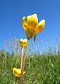 Ranunculus bulbosus flower1.JPG
