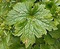 Ranunculus lanuginosus 2017-04-30 9105.jpg