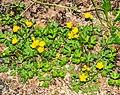 Ranunculus repens in Aveyron (9).jpg