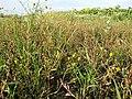 Ranunculus sardous subsp. sardous sl30.jpg