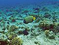 Ras Mohamed Imperator Angel fish.jpg