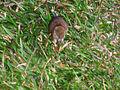 Rat at Kem Botak, Gunung Tahan.jpg