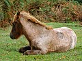 Recently-branded foal in Denny Wood, New Forest - geograph.org.uk - 256420.jpg