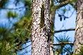 Red-cockaded woodpecker (40901652234).jpg