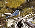 Red-flanked Bluetail male Osaka - Lip Kee 2.jpg
