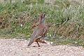 Red-legged Partridge.jpg