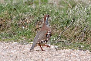 Partridge - Red-legged partridge.