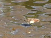 File:Red-necked Stint redcliffe95.ogv