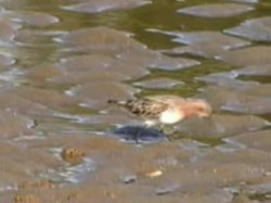 Fil:Red-necked Stint redcliffe95.ogv