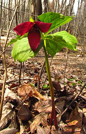 Trillium erectum - Image: Red Trillium plant, Mer Bleue