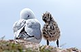 Red billed gull and chick (40) (8066570927).jpg