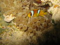 Red sea-reef 4108.jpg